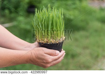An Elderly Woman's Hand Holding A Green Wheatgrass