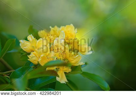 Yellow Flowers With Stamens On A Bush Branch And Gradient Blurred Green Background. Bokeh. Shallow D