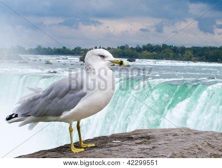 M�we vor den Niagaraf�llen