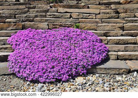 Spring Blossoming Of Pink Creeping Phlox - Phlox Subulata Or Moss Phlox In Stony Garden. Perennial G