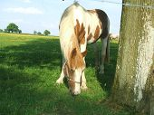 A horse in a field. Farm animal eating grass in a farm. Horse for riding. poster
