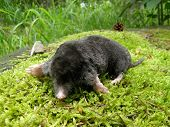Dead mole Talpa europea lying on green moss poster