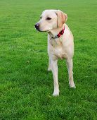 shot of a pretty yellow labrador on the grass poster
