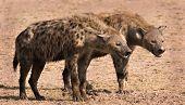 Two hyenas in Amboseli National Park Kenya poster