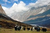 Yaks in Langtang valley with Langshisha Ri mout - Nepal poster