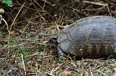 Forest turtle in natural environment. Animal background. poster