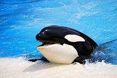 Killer whale in a water show smiling with its head out of the water. poster