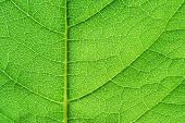 Close-up of a green leaf with beautiful vein structure visible poster