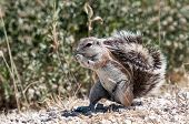 Eating Cape Ground Squirrel in the Etosha National Park in Namibia poster