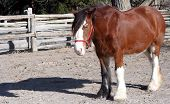 a clydesdale horse standing in a pen poster