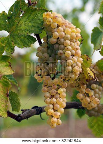Ripe Chenin Grape, Savenniere, France