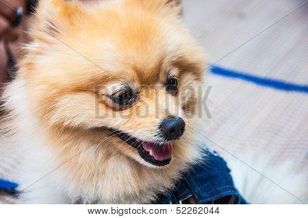 face of a Pomeranian dog