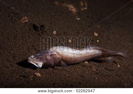 Cusk Eel on the Bottom