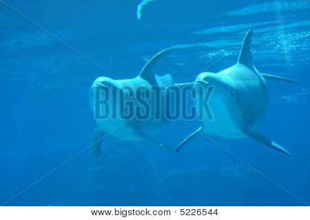 Two Dolphins  Underwater