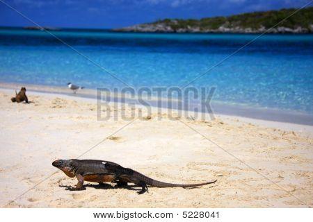 Allans Cay Iguana
