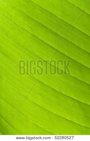 Green Leaf On A Gleam