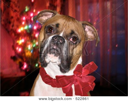 Holiday Boxer Over Lights