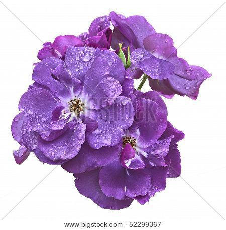 Bunch Of Violet Roses Isolated