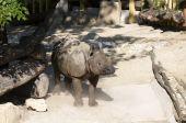 Big young rhino in Tiergarten (Vienna zoo) poster