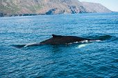 Mighty humpback whale (Megaptera novaeangliae) seen from the boat near Husavik, Iceland poster