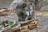 Grey wolf standing near an old rotting log. poster
