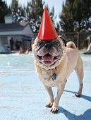 a pug looking at the camera on a pool deck with a party hat on poster