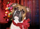 boxer with red bow over holiday lights. poster