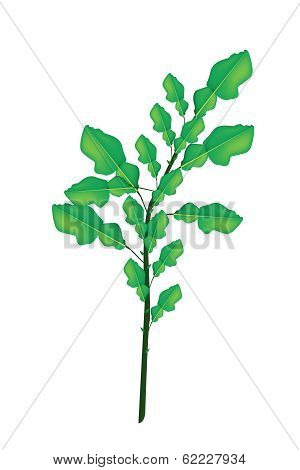 A Fresh Kaffir Lime Plant On White Background