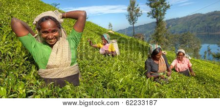 Group of Happy Tea Pickers in Hills of Sri Lanka