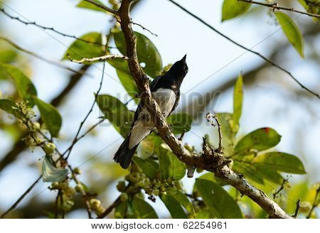Blue-and-white Flycatcher (cyanoptila Cyanomelana)