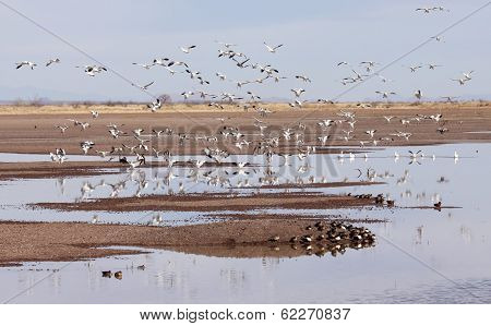 A Snow Geese Flock Lands In A Rural Landscape
