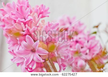 Beautiful Fresh Pink Hyacinth Flowers