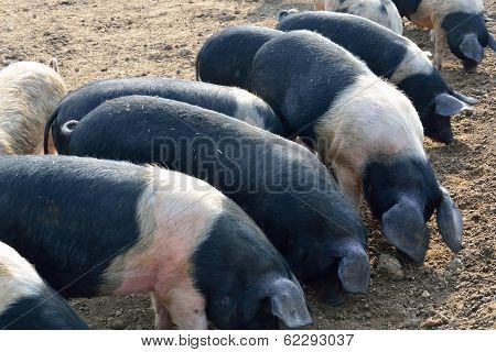 Pigs feeding