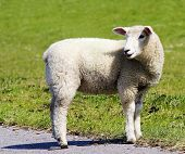 a sheep at a dike in germany poster