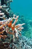 coral reef with sea sponge at the bottom of tropical sea on blue water background poster