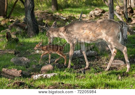 White-tailed Deer (odocoileus Virginianus) And Fawn