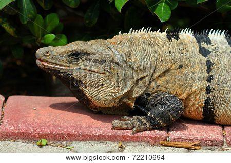 Wild iguana portrait under the sun