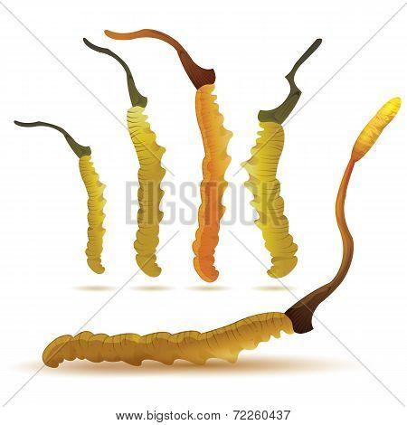 Set Of Cordyceps