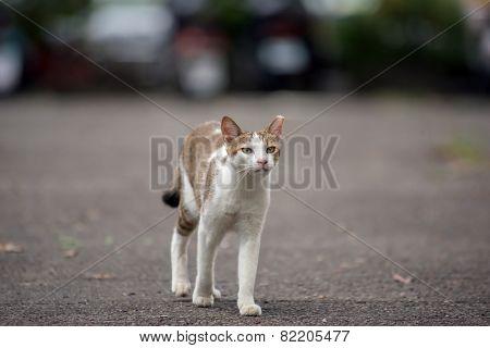 Tortoiseshell cat walking on street in urban.