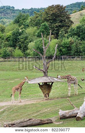 Rothschild's Giraffes Feeding