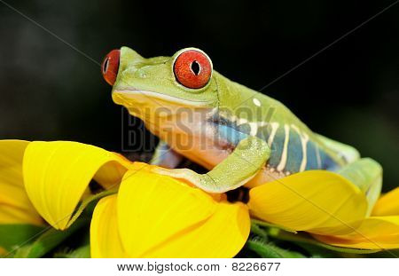 red eyed tree frog on a flower