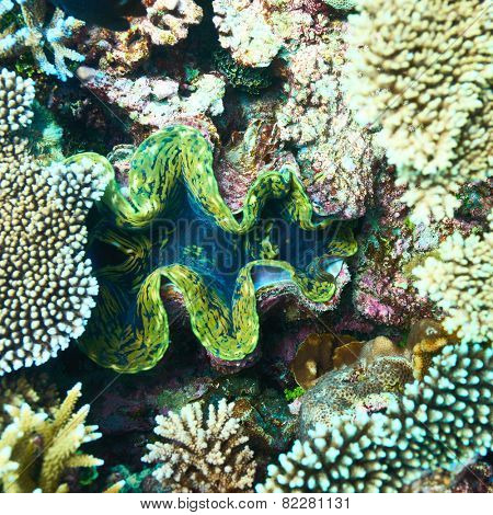 Giant clam (Tridacna gigas) at the tropical coral reef poster