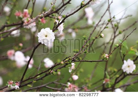 Dwarf Flowering Cherry,Dwarf Flowering Almond