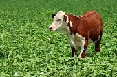 young beef cow in a green field poster