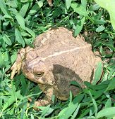 big fat wild toad in garden poster
