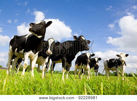 Holstein cows in the meadow