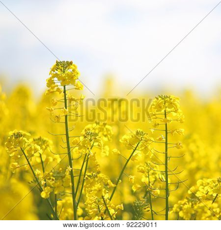 Blooming yellow rape flowers
