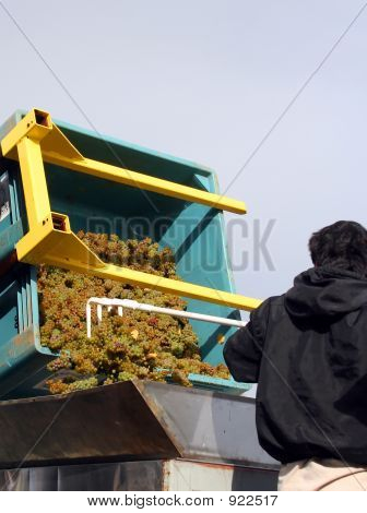 Riesling Going Into Crusher
