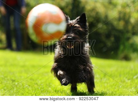 Cairn terrier playing with ball