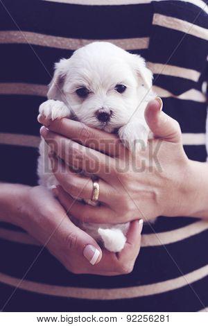 Little Maltese Puppy Striped Shirt